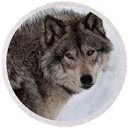 Round Beach Towel featuring the photograph Timberwolf At Rest by Bianca Nadeau