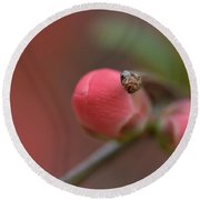 Toyo Nishiki Japanese Flowering Quince  Picture E Round Beach Towel