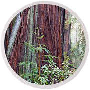 Trunk Of Coastal Redwood In Armstrong Redwoods State Preserve Near Guerneville-ca Round Beach Towel