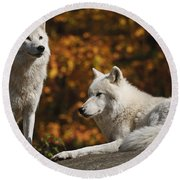 Round Beach Towel featuring the photograph Two Arctic Wolves On Rock Hill by Wolves Only