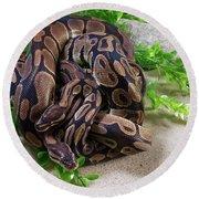 Two Burmese Pythons Python Bivittatus Round Beach Towel