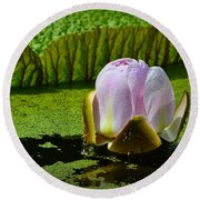 Round Beach Towel featuring the photograph Victoria Amazonica Lily by Nadalyn Larsen