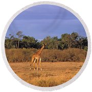 View Of A Group Of Giraffes In The Round Beach Towel