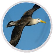 Waved Albatross Diomedea Irrorata Round Beach Towel
