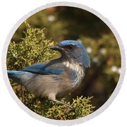 Western Scrub Jay Round Beach Towel by James Peterson