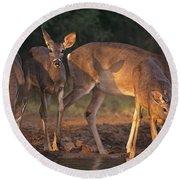 Whitetail Deer At Waterhole Texas Round Beach Towel