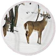 Whitetail Deer In Snow Odocoileus Round Beach Towel