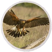 Wild Harris Hawk Landing Round Beach Towel