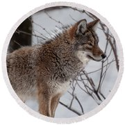 Round Beach Towel featuring the photograph Winter Coyote by Bianca Nadeau