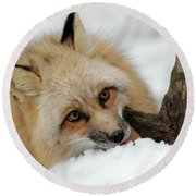 Winter Fox 2 Round Beach Towel by Richard Bryce and Family
