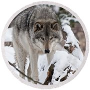 Round Beach Towel featuring the photograph Winter Timber Wolf by Wolves Only