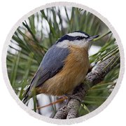 Winter Visitor - Red Breasted Nuthatch Round Beach Towel