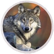 Round Beach Towel featuring the photograph Wolf Predator Canidae Canis Lupus Hunter by Paul Fearn