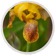 Yellow Bearded Iris Round Beach Towel