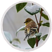 Goldfinch On Branch Round Beach Towel