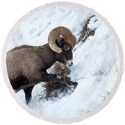 Round Beach Towel featuring the photograph Yellowstone Bighorn by Michael Chatt