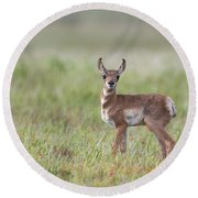 Young Antelope  Round Beach Towel