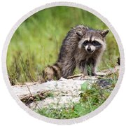 Young Raccoon Round Beach Towel