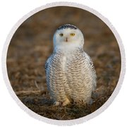 Young Snowy Owl Round Beach Towel