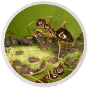 Ants Tending Aphids Round Beach Towel by Ted Kinsman