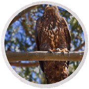 Immature Bald Eagle Round Beach Towel