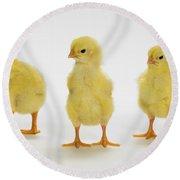 Yellow Chicks. Baby Chickens Round Beach Towel