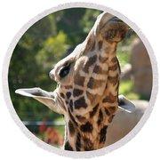Baringo Giraffe Round Beach Towel