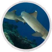 A Pair Of Whitetip Reef Sharks, Kimbe Round Beach Towel