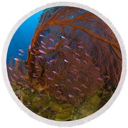 A Red Sea Fan With Purple Anthias Fish Round Beach Towel