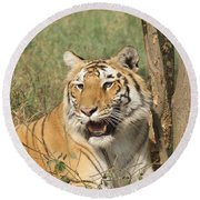 A Tiger Lying Casually But Fully Alert Round Beach Towel