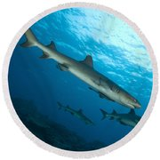 A Trio Of Whitetip Reef Sharks, Kimbe Round Beach Towel