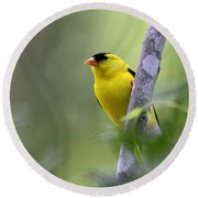 American Goldfinch - Peaceful Round Beach Towel