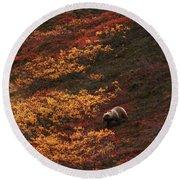 Brown Bear Denali National Park Round Beach Towel