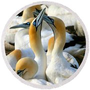 Cape Gannet Courtship Round Beach Towel