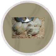 Round Beach Towel featuring the photograph Cute And Fuzzy Chicks by Chalet Roome-Rigdon