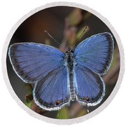 Eastern Tailed Blue Butterfly Round Beach Towel by Daniel Reed