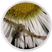 Flower Spider On Fleabane Round Beach Towel by Daniel Reed