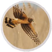 Harrier Over Golden Grass Round Beach Towel