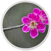 Japanese Flowering Apricot. Round Beach Towel