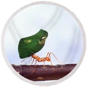 Leaf-cutting Ant With Leaf Round Beach Towel by Science Source
