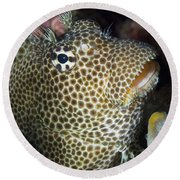 Leopard Blenny Perched On Coral, Papua Round Beach Towel