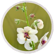 Round Beach Towel featuring the photograph Moth Mullein by JD Grimes