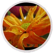 Round Beach Towel featuring the photograph Orange Juice Daisy by Debbie Portwood