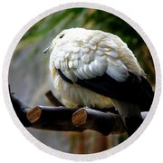 Round Beach Towel featuring the photograph Pied Imperial Pigeon by Davandra Cribbie