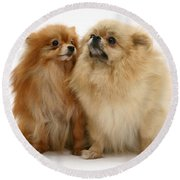 Pomeranian Mother And Pup Round Beach Towel