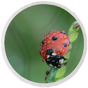Seven-spotted Lady Beetle On Grass With Dew Round Beach Towel by Daniel Reed