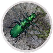Six-spotted Tiger Beetles Copulating Round Beach Towel by Daniel Reed