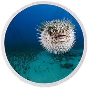 Spotted Porcupinefish II Round Beach Towel