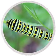 Swallowtail Caterpillar On Parsley Round Beach Towel