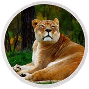 Round Beach Towel featuring the photograph The Lioness by Davandra Cribbie